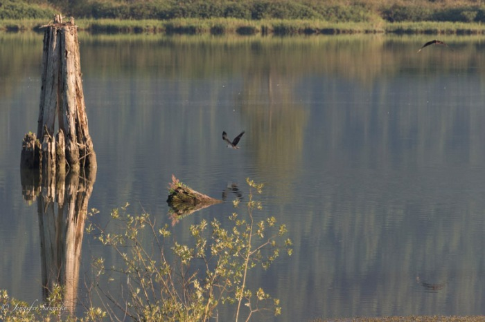 Finally, the osprey manages to free itself from the water, and take to the air again.