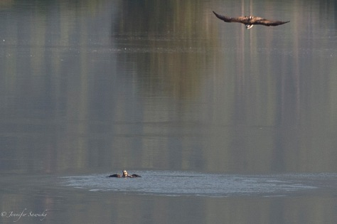 While the osprey struggles in the water, its parent (or partner) circles above.
