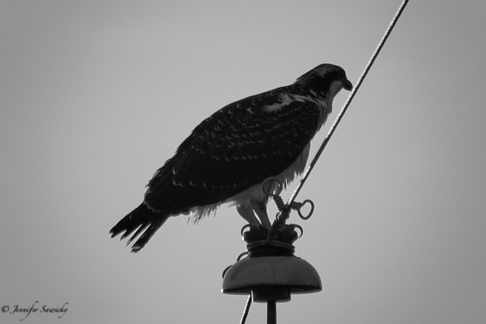An osprey perches atop an electrical pole.  The first rays of sunlight were hitting the osprey directly, and I was shooting into the sun, making the colours washed out, and a black and white conversion a good choice. 1/1000sec, f5.6, ISO110