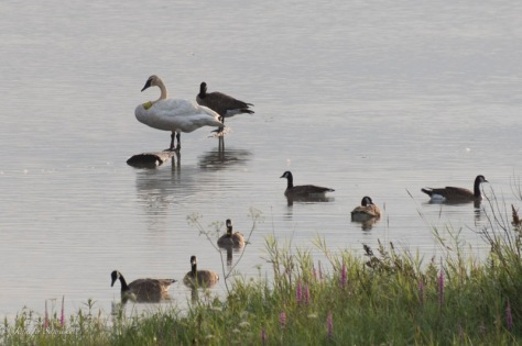 I was surprised to see a tagged trumpeter swan (M38) amongst the geese towards to end of the dikes.