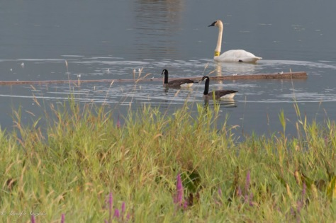 Trumpeter swan tagged with M38 swimming amongst some Canada geese.  One their own, the geese seem very large, but next to the swan, they seem so small!