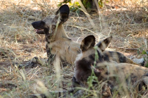 A group of wild dogs rests in the shade from the mid afternoon heat, at Chobe Game Reserve in Botswana. 1/500sec, f5.3, ISO1600