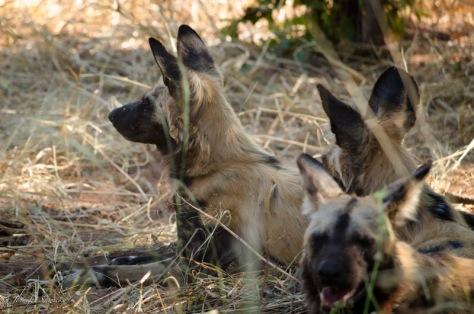 Wild Dogs-5