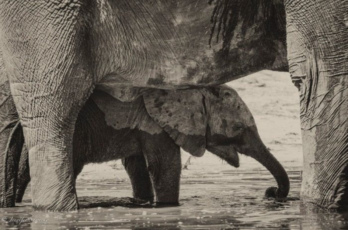 A young elephant drinks from the Chobe River in Botswana, under the protective shadow of her mother.  This little one had already lost her tail; whether it was missing at birth, or lost in an attack by a predator, only she knows.   It was amazing to spend time watching elephants; the antics of the little ones in the river brought us so much joy. 1/1000sec, f5.6, ISO560