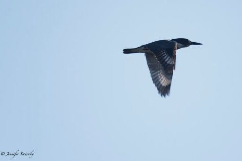 Belted Kingfisher-10