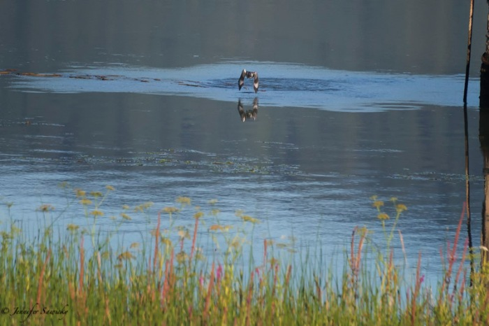 Belted Kingfisher-6