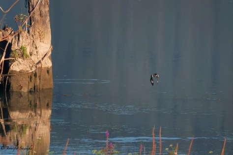 Belted Kingfisher-8