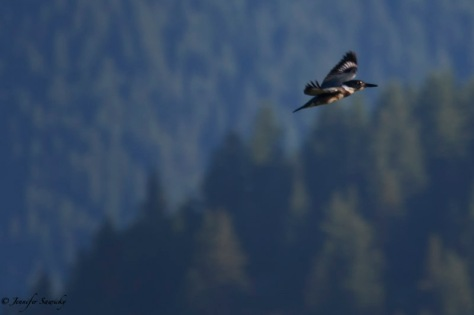 Belted Kingfisher-9