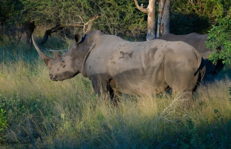 A pair of rhinos at Londolozi Game Reserve in South Africa, April 2013.