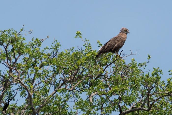 A juvenile brown snake eagle. 1/1000sec, f6.3, ISO 200