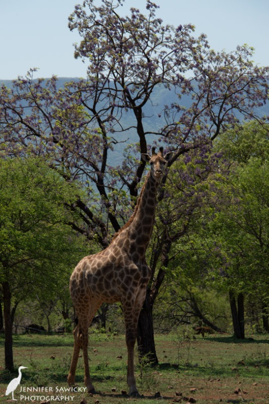 A giraffe in front of a jacaranda tree. 1/640sec, f10, ISO 400