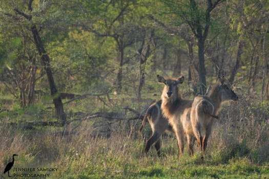 A pair of waterbuck, moments before they bolted for safety away from our gaze. 1/500sec, f8.0, ISO 1000