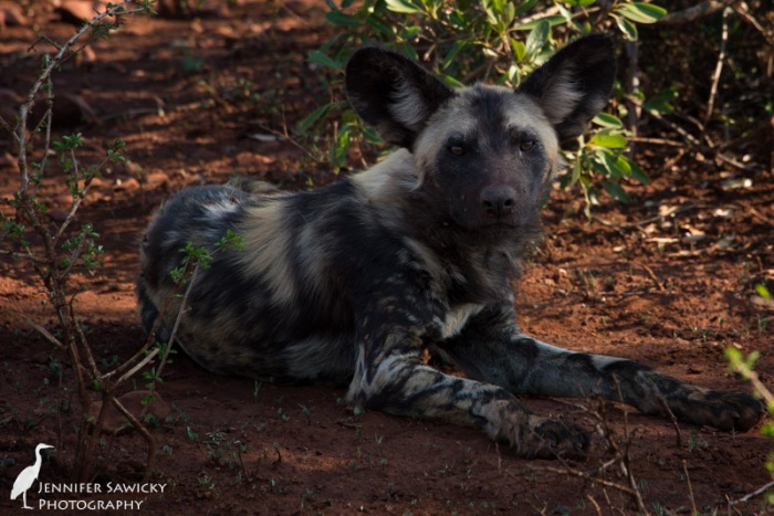 A member of the wild dog pack eyes us; we woke them from their afternoon nap. 1/160sec, f9.0, ISO 200