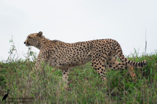 My first afternoon spent with the cheetah called Kalahari.  He's such a beautiful creature, and so photogenic!