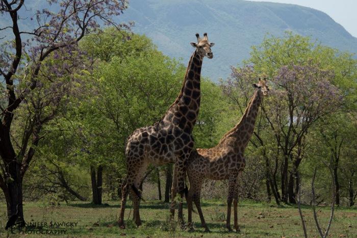 Giraffe Courtship-3