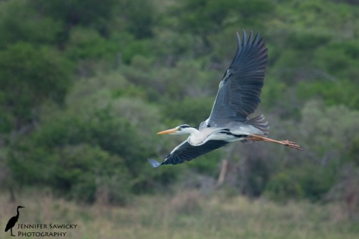A beautiful grey heron in flight over the Jozini Dam.