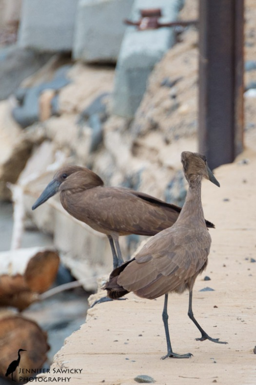 A pair of Hammerkop.