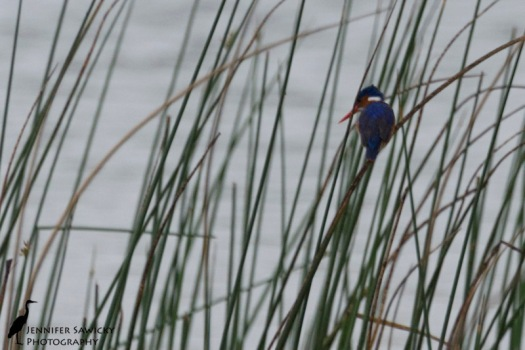 Malchite Kingfisher-2
