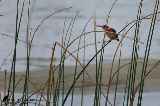 Malchite Kingfisher-4
