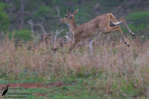 A mountain reedbuck coming in to land just outside the fence at the volunteer house at Zimanga.