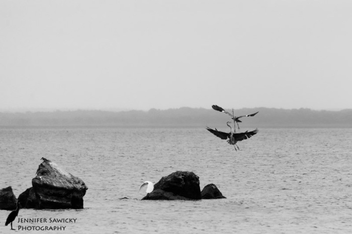 Grey Herons-4