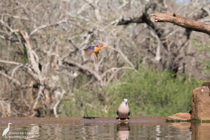 A pygmy kingfisher flies past while a laughing dove stops by for a drink. 1/1250 sec, f11, ISO 4000
