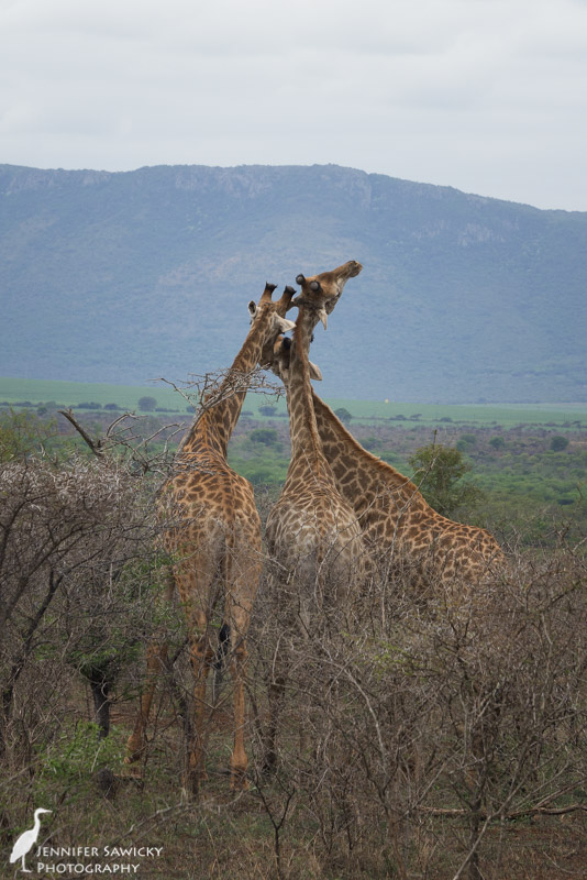 20150205_Giraffe Necking-2