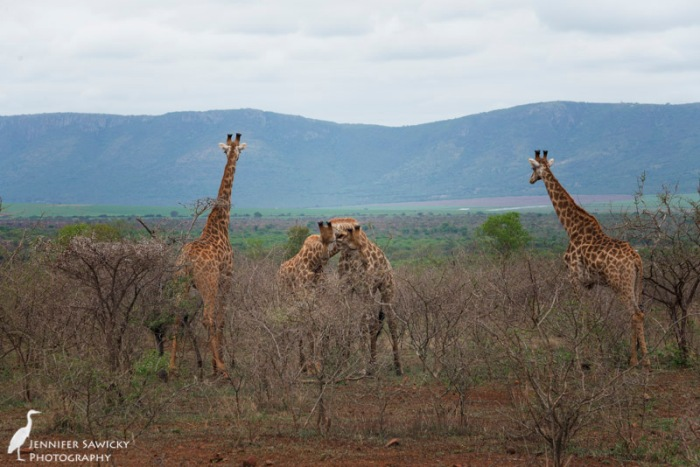 20150205_Giraffe Necking-3