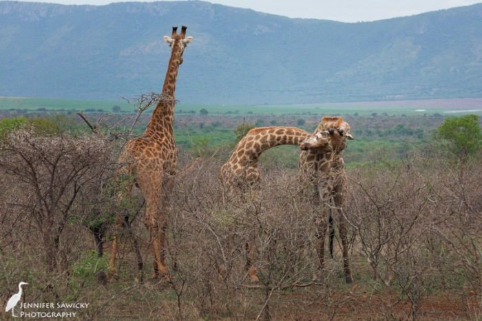 20150205_Giraffe Necking-5