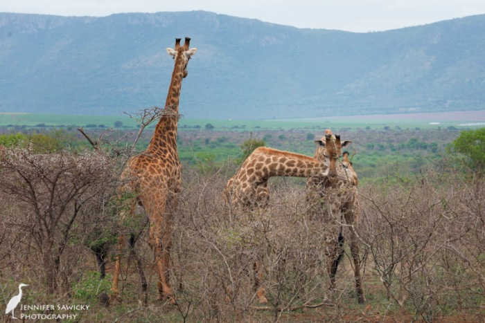 20150205_Giraffe Necking-6