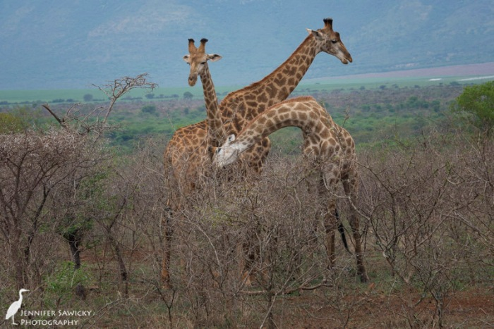 20150205_Giraffe Necking-7