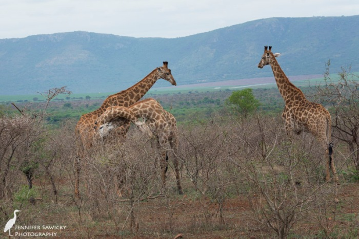20150205_Giraffe Necking-8
