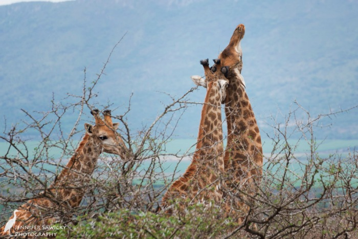 20150205_Giraffe Necking