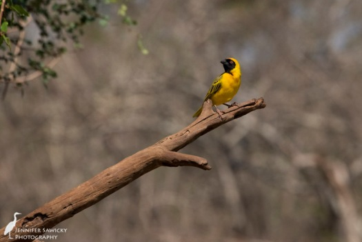 A southern masked weaver perched above the watering hole. 1/1600 sec, f9.0, ISO 1250