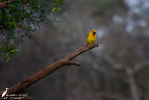 A spectacled weaver eyes up the water hole before heading down for a drink. 1/2500 sec, f7.1, ISO 5000