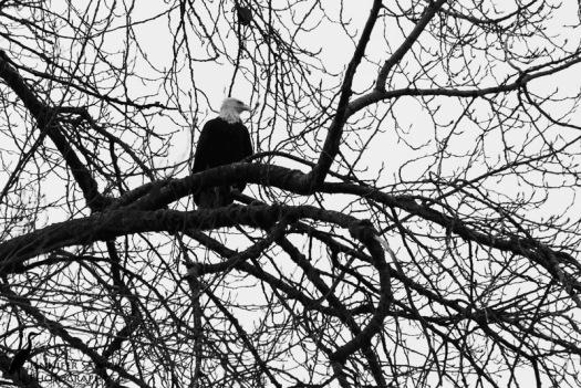 20150208_Bald Eagle-2