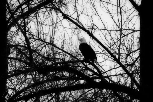 20150208_Bald Eagle