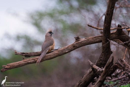 A long mousebird perched above the watering hole. 1/400 sec, f5.6, ISO 1000