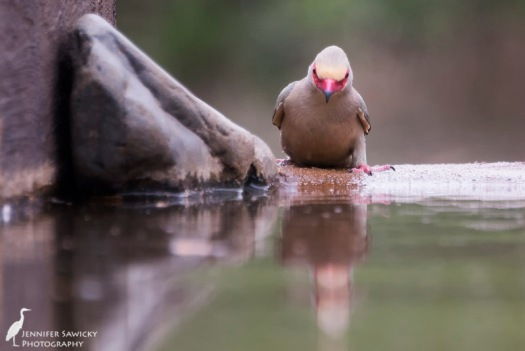 A red faced mousebird leans in for a drink.  This type of mousebird showed up before anyone even had their cameras attached to the tripods in the hide, and never came back again. 1/400 sec, f5.6, ISO 1600