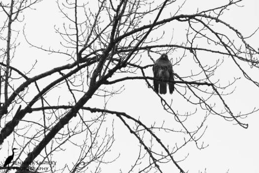 20150208_Osprey