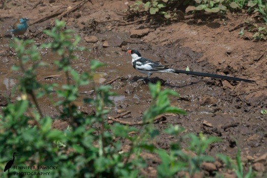 A pin-tailed whydah stops in for a drink at a puddle that was definitely more mud than water. A blue waxbill is also hanging out. 1/500 sec, f7.1 ISO 100