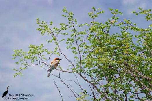A European bee-eater perched in a far off tree. 1/250 sec, f5.6 ISO 800