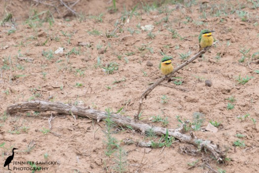 A pair of little bee-eaters perched on a broken branch. 1/320 sec, f7.1, ISO 400