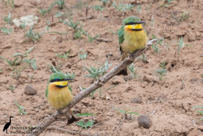 A pair of little bee-eaters pose for some photos. 1/320 sec, f8.0, ISO 400