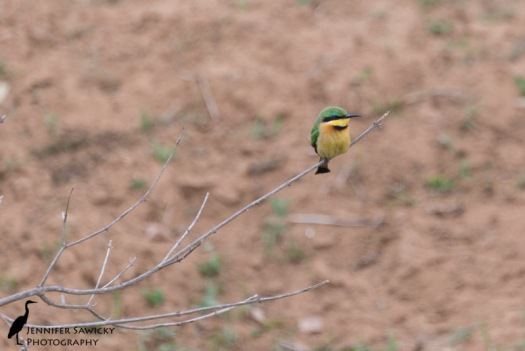 A lone little bee-eater perched on a low branch.  It's mate was just out of the shot, about a meter away. 1/1000 sec, f5.6, ISO 720