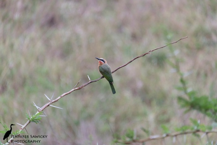 Contemplating following her partner... this female white fronted bee-eater stuck around for another minute before heading off after her mate. 1/400 sec, f5.6, ISO 1000
