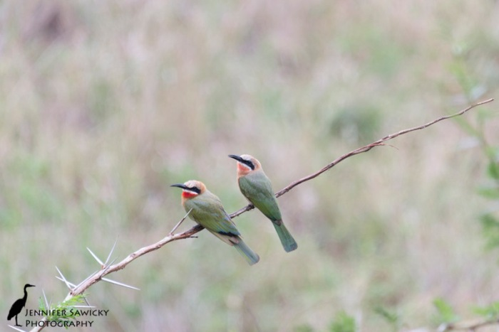 A pair of white fronted bee-eaters perched on a thorn tree branch. 1/250 sec, f5.6, ISO 1000