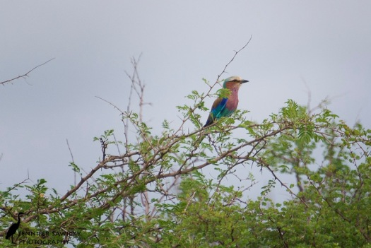 Perched in the thorn tree, I snapped this just moments before the roller took off. 1/1000 sec, f5.6, ISO 400
