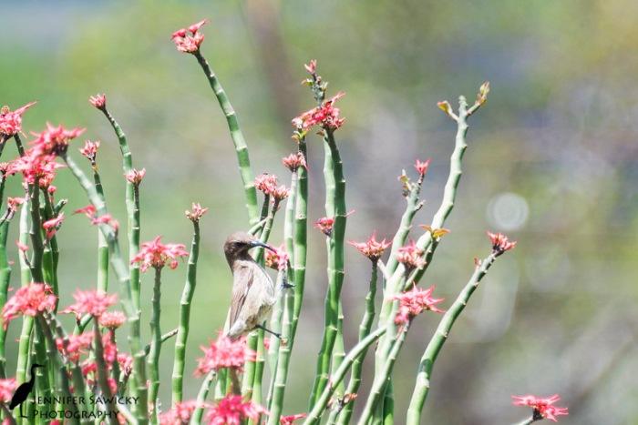 A female scarlet-chested sunbird feeding on aloe. 1/640 sec, f5.6, ISO 400