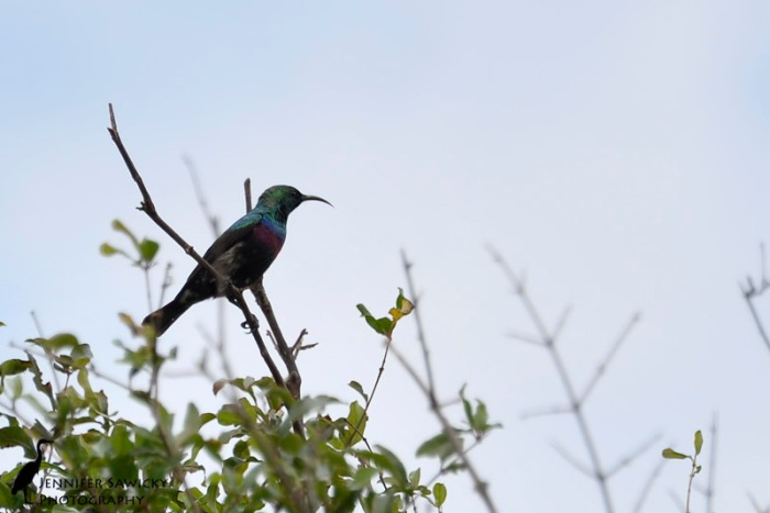 A male purple-banded sunbird perched in a distance tree. 1/640 sec, f5.6, ISO 400